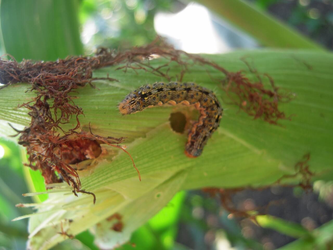 Гусеница хлопковой совки